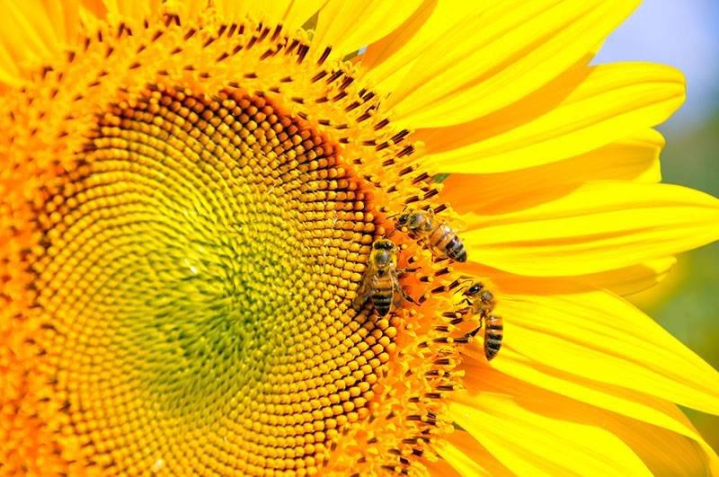 Abelhas em extinção