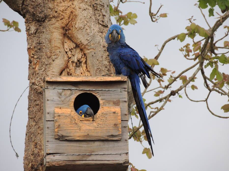 Arara-azul do Pantanal - Blue Macaw