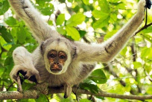 Muriqui-do-norte da Mata Atlântica - macaco - monkey