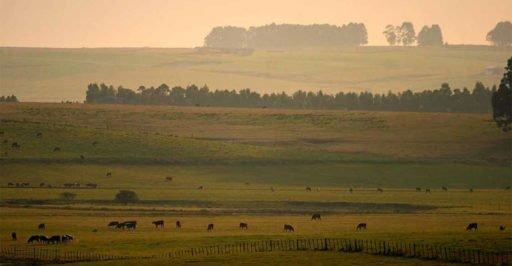O Pampa é para a pecuária