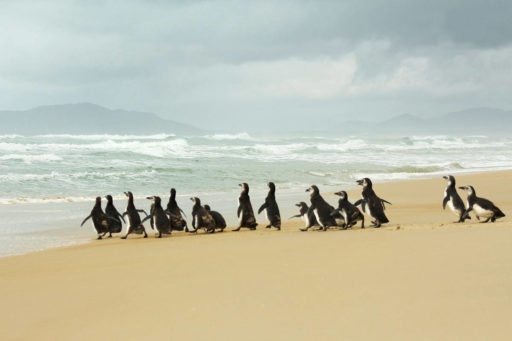 Marcha dos pinguins, march of the penguins