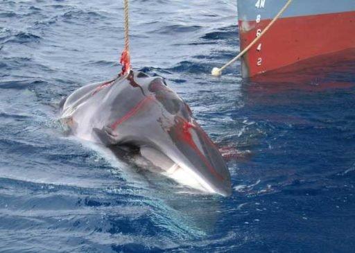 Japão de volta à caça à beleia, jJapan returns to whale hunting