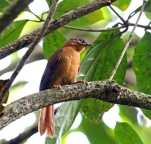 O limpa-folha-do-nordeste silenciou, bird species extinct