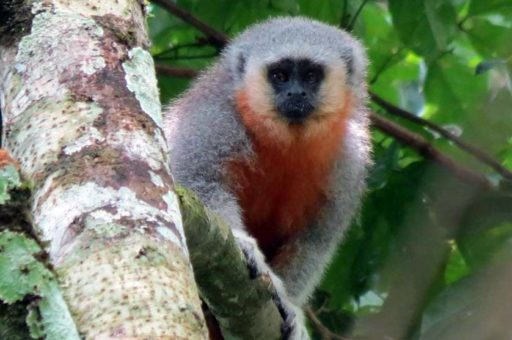 Plecturocebus grovesi - Espécies descobertas na Amazônia - species in Amazon